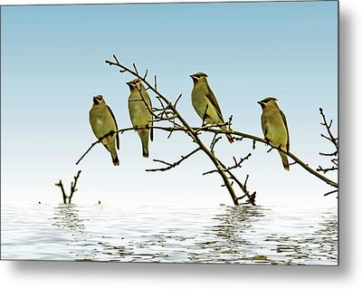 Cedar Waxwings On A Branch Metal Print by Geraldine Scull