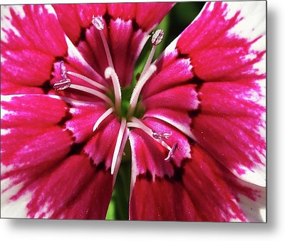 Center Of A Sweet William Metal Print by Mary Ellen Frazee
