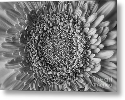 Center Stage Metal Print by Gina Cormier