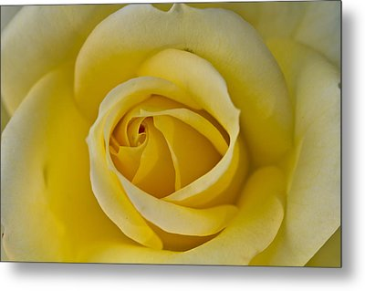 Centered Beautiful Yellow Rose Metal Print by Dina Calvarese