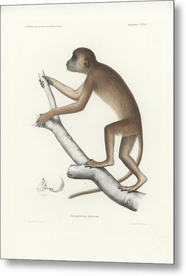 Central Yellow Baboon, Papio C. Cynocephalus Metal Print by J D L Franz Wagner