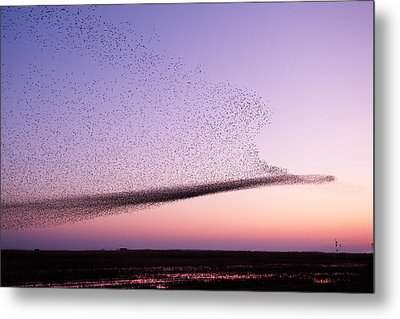 Chaos In Motion - Starling Murmuration Metal Print by Roeselien Raimond