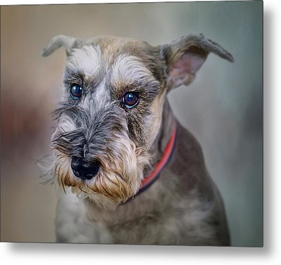 Charlie - Dog Portrait - Schnauzer Metal Print by Nikolyn McDonald