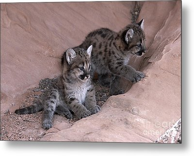 Checking It Out Metal Print by Sandra Bronstein