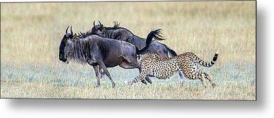 Cheetah Acinonyx Jubatus Hunting Blue Metal Print by Panoramic Images