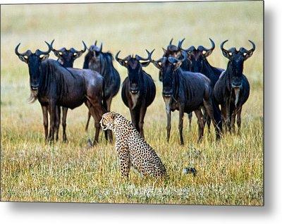 Cheetah Acinonyx Jubatus With Blue Metal Print by Panoramic Images