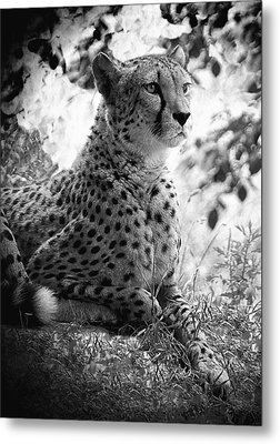 Cheetah B W, Guepard Black And White Metal Print