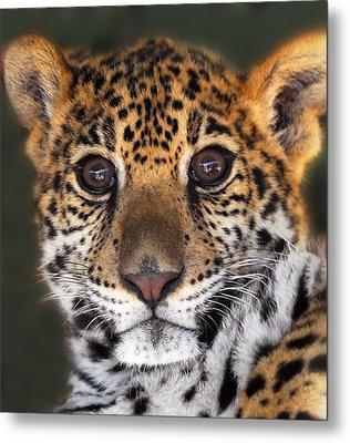 Cheetah Metal Print by Craig Incardone