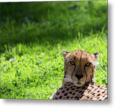Metal Print featuring the photograph Cheetah Face by Rebecca Cozart