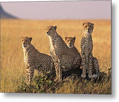 Cheetah Family Metal Print by Johan Elzenga
