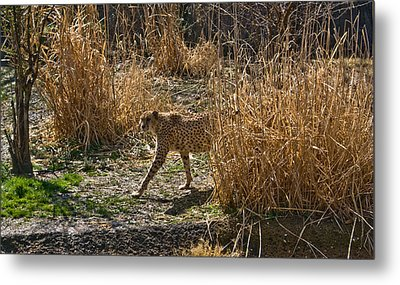 Cheetah  In The Brush Metal Print by Douglas Barnett