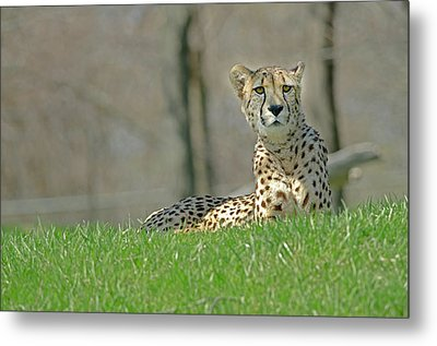 Metal Print featuring the photograph Cheetah by JT Lewis