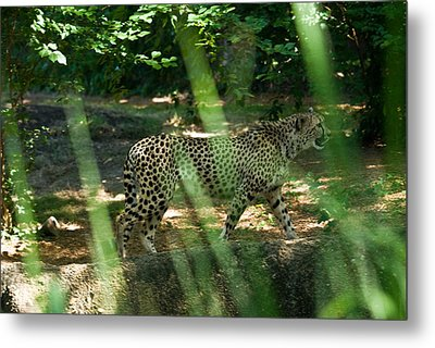 Cheetah On The In The Forest Metal Print by Douglas Barnett