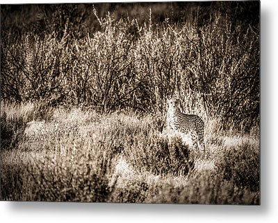 Cheetah On The Prowl - Toned Black And White Namibia Africa Photograph Metal Print by Duane Miller