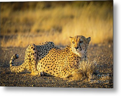 Cheetah Portrait Metal Print by Inge Johnsson