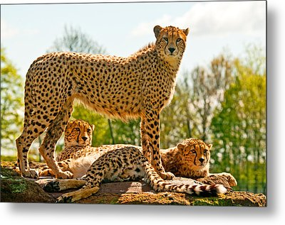 Cheetahs Three Metal Print