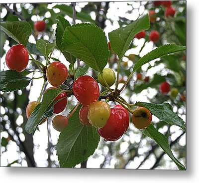 Metal Print featuring the photograph Cherries In The Morning Rain by Angie Rea