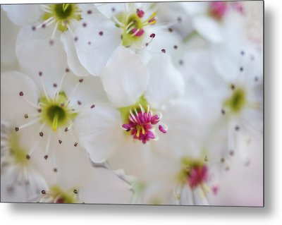 Metal Print featuring the photograph Cherry Blooms by Darren White