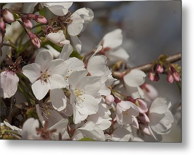 Cherry Blossom 1 Metal Print by Lisa Missenda