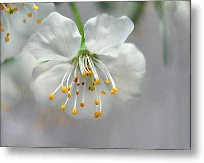 Cherry Blossom Metal Print by Ann Bridges