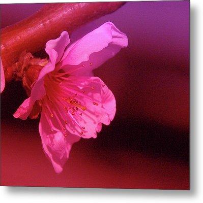 Cherry Blossom Metal Print by Jeff Swan