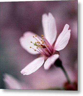 Cherry Blossom Metal Print by Joseph Skompski