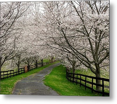 Cherry Blossom Lane Metal Print by Joyce Kimble Smith