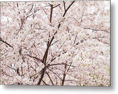 Cherry Blossom Spring Metal Print by Ariane Moshayedi