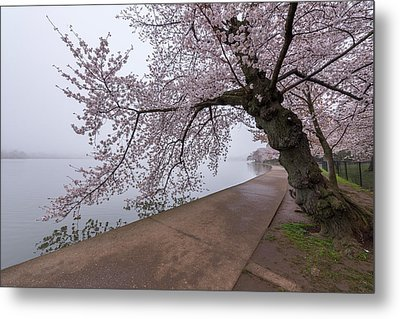 Cherry Blossom Tree In Fog Metal Print by Michael Donahue