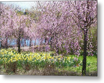 Cherry Blossom Trees Of Branch Brook Park 11  Metal Print by Allen Beatty
