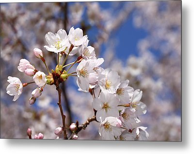 Metal Print featuring the photograph Cherry Blossoms - B by Anthony Rego