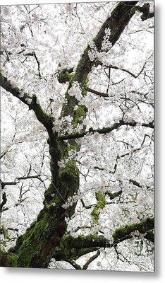Cherry Blossoms 119 Metal Print