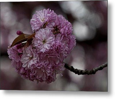 Cherry Blossoms 2 Metal Print by Robert Ullmann