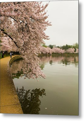 Cherry Blossoms Along The Tidal Basin 8x10 Metal Print