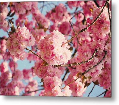 Cherry Blossoms Galore Metal Print