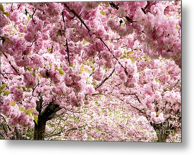 Cherry Blossoms In Milan Italy Metal Print