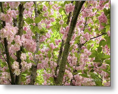 Cherry Blossoms In Spring, Milan, Italy Metal Print by Julia Hiebaum