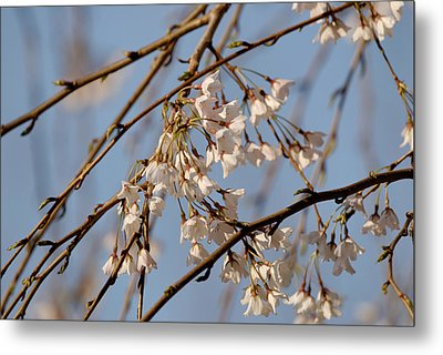 Cherry Blossoms Metal Print by Julie Niemela