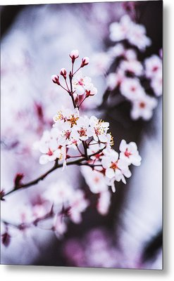 Metal Print featuring the photograph Cherry Blossoms by Parker Cunningham