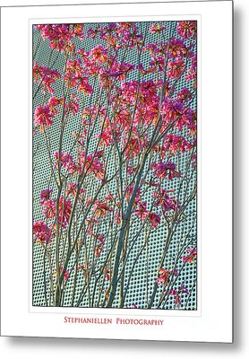 Cherry Blossoms Metal Print by Stephanie Hayes