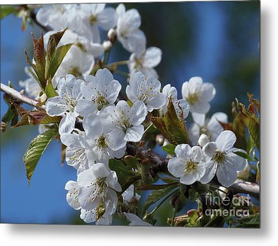 Metal Print featuring the photograph Cherry Blossoms by Victor K