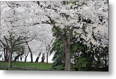 Cherry Blossoms Washington Dc Metal Print by Steve Archbold