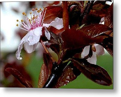 Cherry Crown Metal Print by Toni Jackson