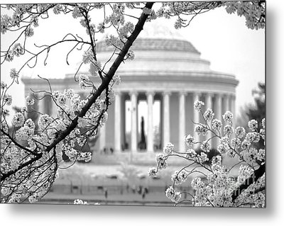 Cherry Tree And Jefferson Memorial Elegance  Metal Print by Olivier Le Queinec