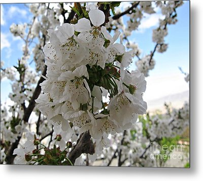 Cherry Tree Metal Print by Cendrine Marrouat