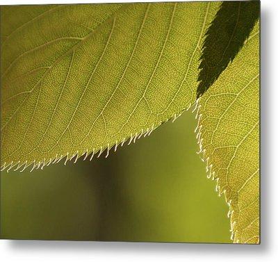 Cherry Tree Leaves -  Metal Print by Julie Weber