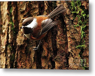 Chestnut-backed Chickadee On Tree Trunk Metal Print by Sharon Talson