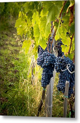 Chianti Grapes Metal Print by Jim DeLillo