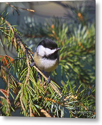 Chickadee-12 Metal Print by Robert Pearson