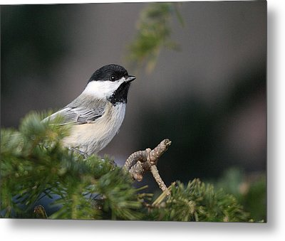 Metal Print featuring the photograph Chickadee In Balsam Tree by Susan Capuano